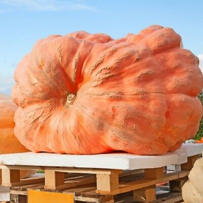 Pumpkin Dills Atlantic Giant - 5 seeds - Vegetables