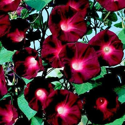 Ipomoea - Kniolas Black Knight -50 seeds Annual