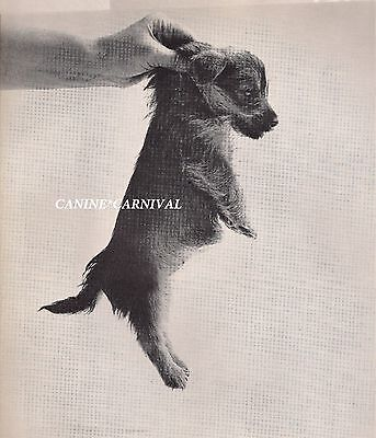 NORWICH TERRIER PUPPY BEING CARRIED BY PERSON 1969 Vintage Dogs PHOTO  Art Print