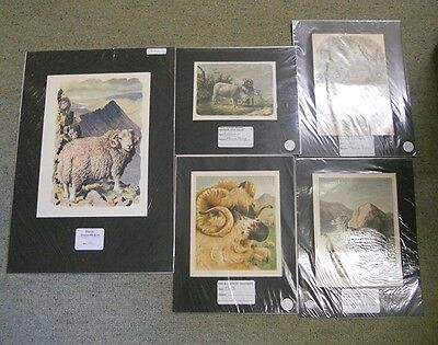 Collection of 5 Victorian & Antique Colour Prints Relating to Sheep. by Anon