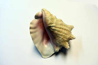"Pink Queen Conch Shell Seashell (Slit Back) Size 7""-8"" Nautical Beach Cottage"