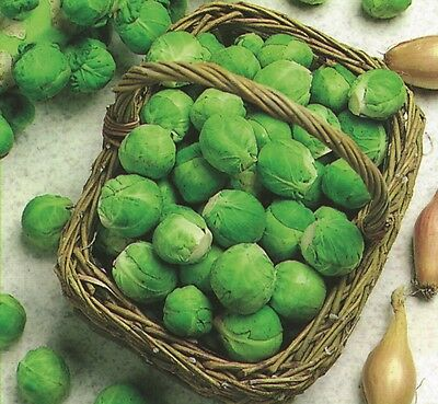 Vegetable Brussels Sprout Fillbasket Appx 100 seeds