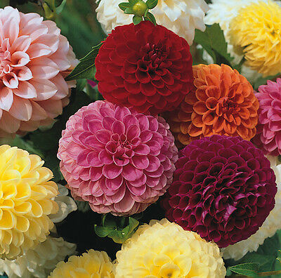 Dahlia Pompone Doubles mixed 120 seeds - Annual