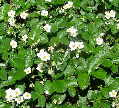 Ozark Beauty Everbearing Strawberry Plants(20) Plus 2FREE Great for canning