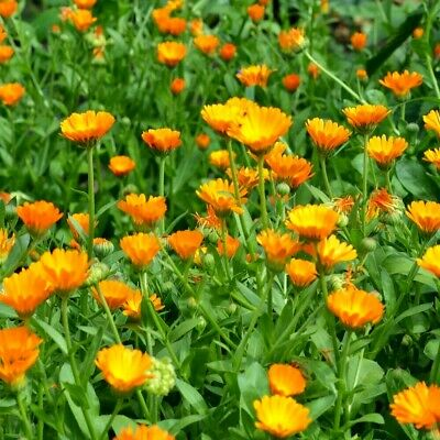 Pot Marigold Calendula Officinalis Orange King Appx 200 seeds