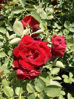Red Fountain Red Rose 1 Gal Live Bush Plants Climber Plant Fine Roses