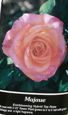 Majaue Peach Pink Rose 2 Year Live Bush Plants Shrub Plant Fine Roses