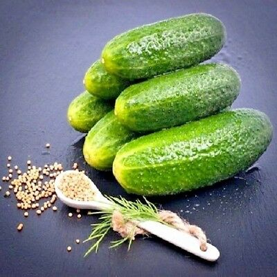 Vegetable Gherkin F1 Adam 10 seeds Pickling Gherkin Cucumber