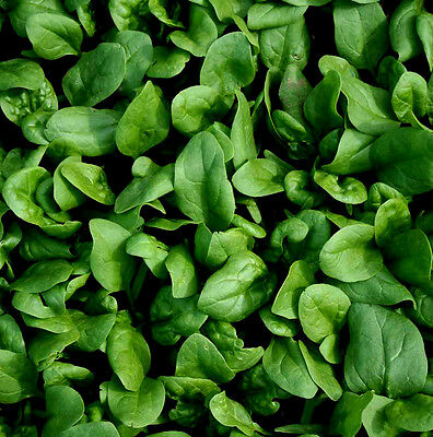 Spinach F1 Amazon Appx 200 seeds **Baby leaf or Cook**