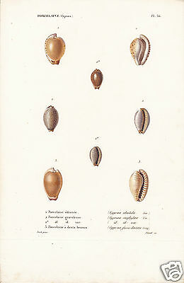 Porcelaine(Cyproea)(5)-Conchiglie-Coquilles-Shells.