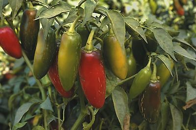 Organic Vegetable - Pepper (Chilli) - Early Jalapeno - 300 Seeds - Large