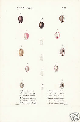 Porcelaine(Cyproea)(6)-Conchiglie-Coquilles-Shells.