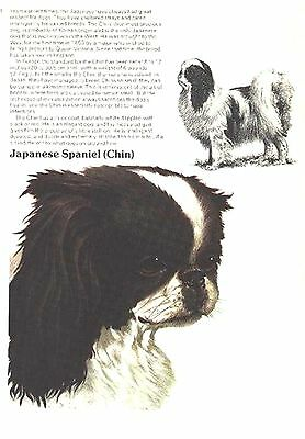 JAPANESE SPANIEL CHIN  1970'S  Dog Breed ART AND BREED Description