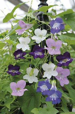 Flower - Asarina scandens Mystic Series Mixed - 20 Seeds
