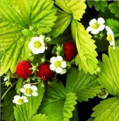 Fruit - Strawberry - Golden Alexandria - 500 Seeds