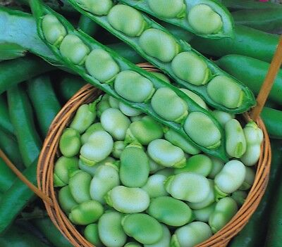 Vegetable Kings Seeds Pictorial Packet - Broad Bean - Masterpiece Green Longpod