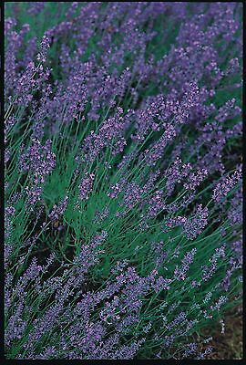 Herb - Suffolk Herbs - Lavender Vera Seed - Lavendula -  Pictorial Packet