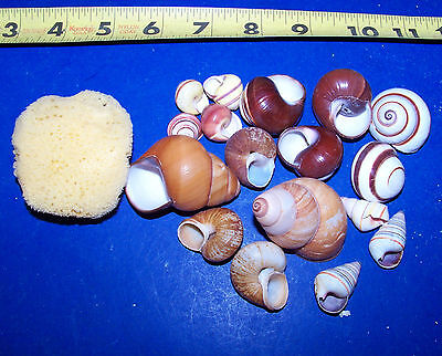 15 - Assorted Land Snail Shells Hermit Crab With Moisture Sponge Crafts Wow!