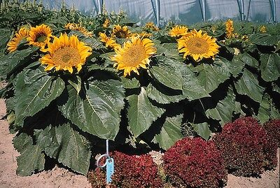 Flower - Sunflower - Dwarf Incredible - 25 Seeds