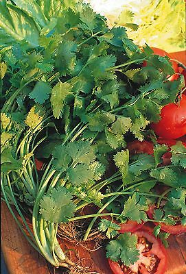 Coriander - Moroccan - For Seed production -  Bulk 25g