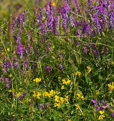 British Wild Flower - Vicia - Tufted Vetch - 30 Seed
