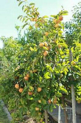 2  American Persimmon Trees Free Shipping