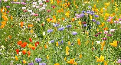 Wild Flower Seed Mix - 5 Gms -'Touch of Summer'