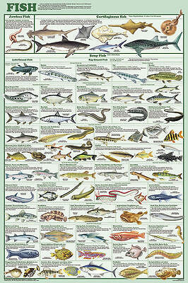 (LAMINATED) FISH SPECIES POSTER (61x91cm) EDUCATIONAL CHART PICTURE PRINT NEW