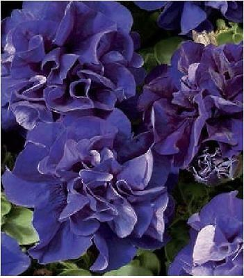 Flower - Petunia - Double Pirouette Blue - 150 Pelleted Seeds - Large