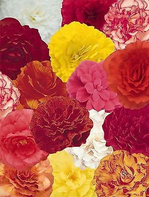 Flower - Begonia - Nonstop Mixed  F1 - 50 Pelleted Seed - Large Pack