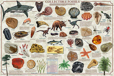 COLLECTIBLE FOSSILS Laminated POSTER Print Educational Geology Paleontology Art