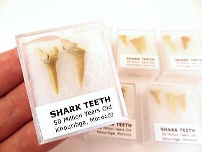 S.V.F - Fossil Shark Teeth - Morocco - 50 Million Years old - In Display Case