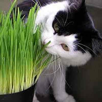 500 gms Sweet Oat Grass seeds grown in Sussex for Cats and other Pets