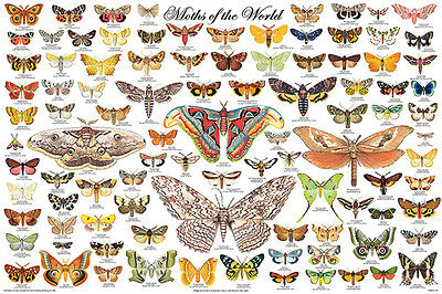 Moths Of The World (Laminated) Poster (61X91Cm) Educational Wall Chart Diagram