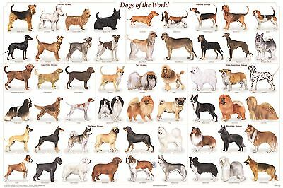 DOG BREEDS (LAMINATED) POSTER (61x91cm) VETERINARY EDUCATIONAL CHART DIAGRAM