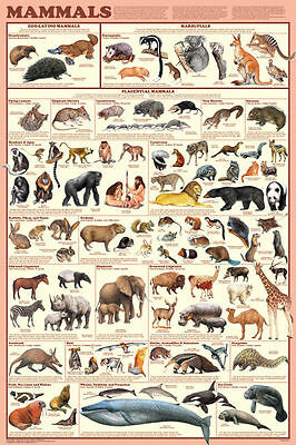 (LAMINATED) MAMMALS POSTER (61x91cm) EDUCATIONAL CHART PICTURE PRINT NEW ART