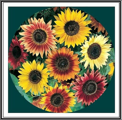 "100+ Organic ""Autumn Beauty"" Mix Sunflower Seeds ~Beautiful variety of colors"