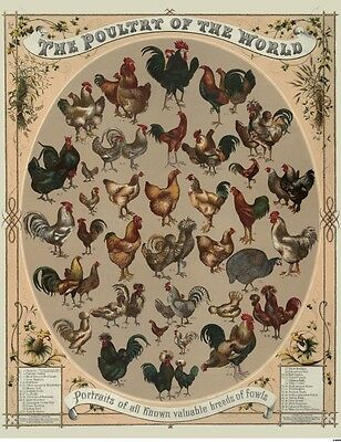 Chicken Hen Rooster Bird World Poultry Chart Fowl Farm Animal Poster Print 1868