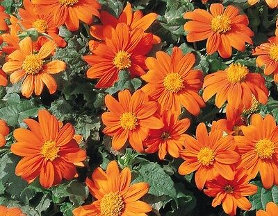 Tithonia Goldfinger - Mexican Sunflower - 50 seeds - Annuals
