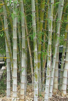 Dendrocalamus Hamiltonii 10 Seeds, Tama or Tufted Giant Clumping Bamboo