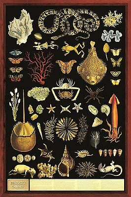 (LAMINATED) Curiosity Cabinet POSTER (61x91cm) Educational Wall Chart Picture