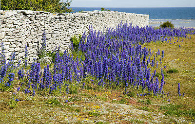 UK Native Vipers Bugloss - echium vulgare - 300 seeds - Wildflower for Bees