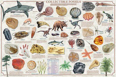 Collectible Fossils POSTER (61x91cm) Educational Wall Chart Picture Print New