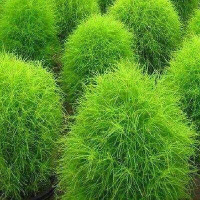 Burning Bush - Kochia Trichophylla - Appx 2400 seeds - Annuals