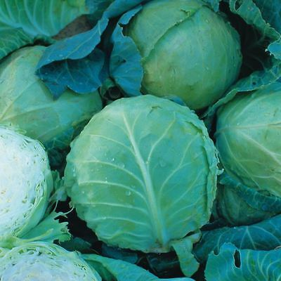 Vegetable - Cabbage - Holland Late Winter - 100 Seeds - Economy