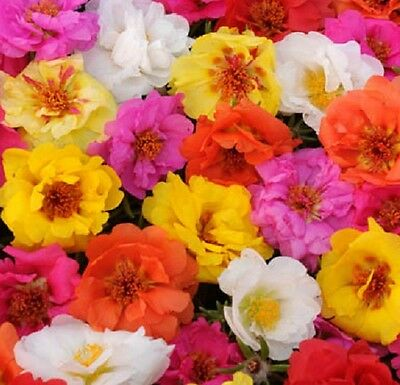 Portulaca Happy Trails Mix - Trailing / Basket type - 50 seeds - Annuals