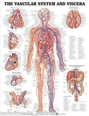 Vascular System And Viscera (Laminated) Poster (66X51Cm) Anatomical Chart Human