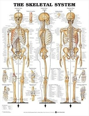 Skeletal System Poster (66X51Cm) Anatomical Chart Human Body Skeleton Medical