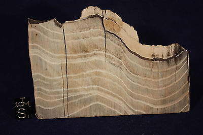 Petrified wood 5.3 oz from Sweet Home Or.