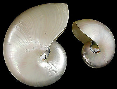 "Whole Pearl Nautilus Shell - Small 2-3"" Coastal Beach Decor Nautical Seashell"
